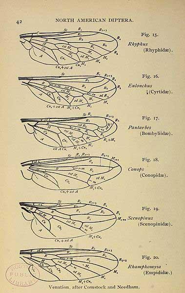 Les patrons des reinures des ailes peuvent permettre de différencier des espèces de diptères. Photographie: Wikipedia Commons.