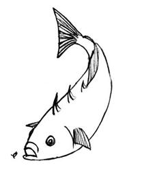 Épinoche à trois épines (Gasterosteus aculeatus)